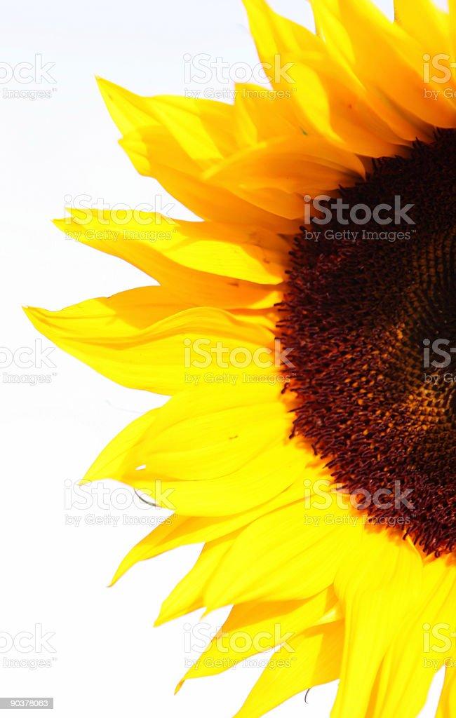 Half a Sunflower stock photo