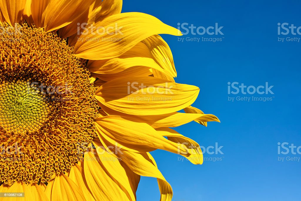 half big sunflower stock photo