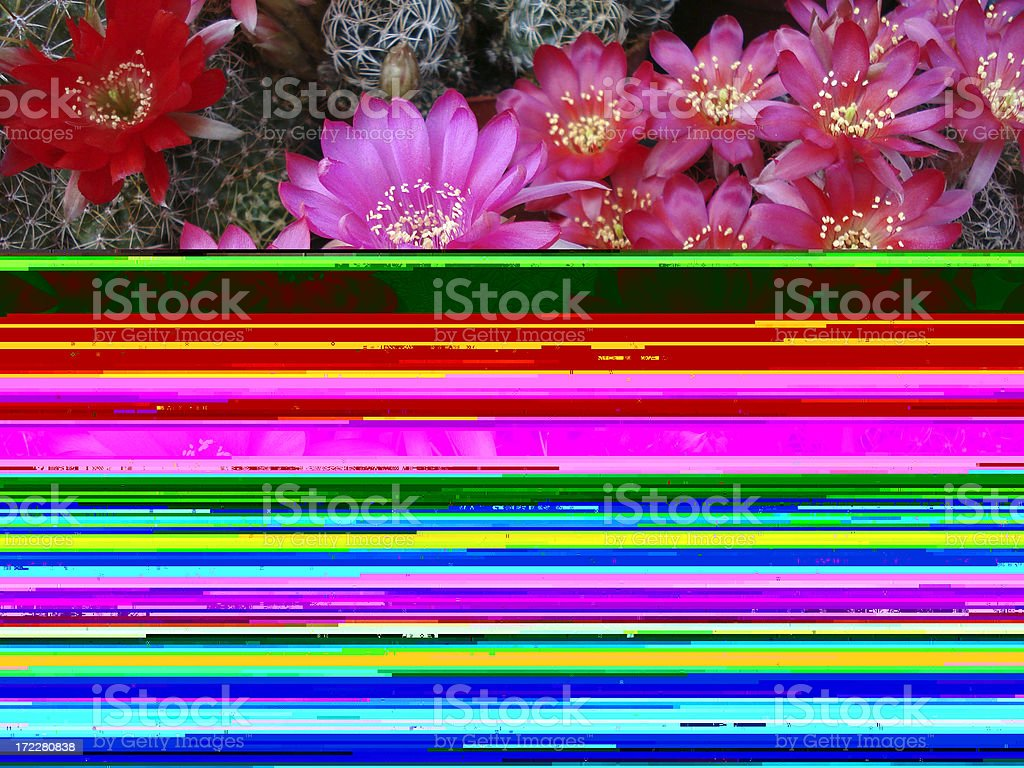 Half cactus flowers half warped photo lines royalty-free stock photo