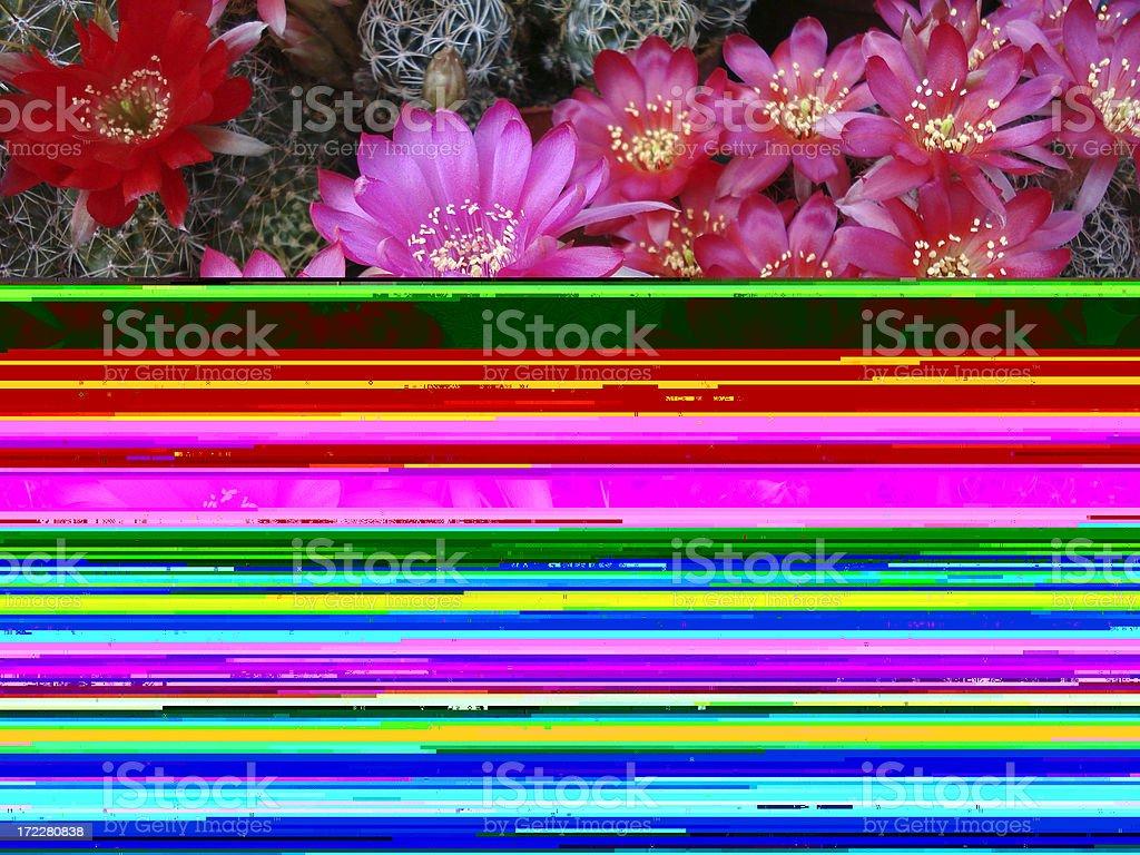 Half cactus flowers half warped photo lines stock photo
