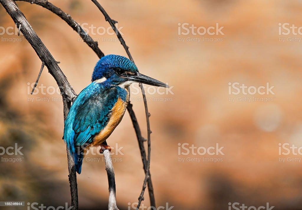 Pół Collared Kingfisher w high dynamic range (HDR zbiór zdjęć royalty-free