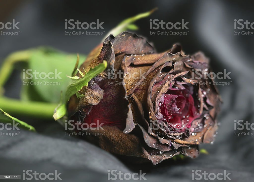 Half death rose royalty-free stock photo