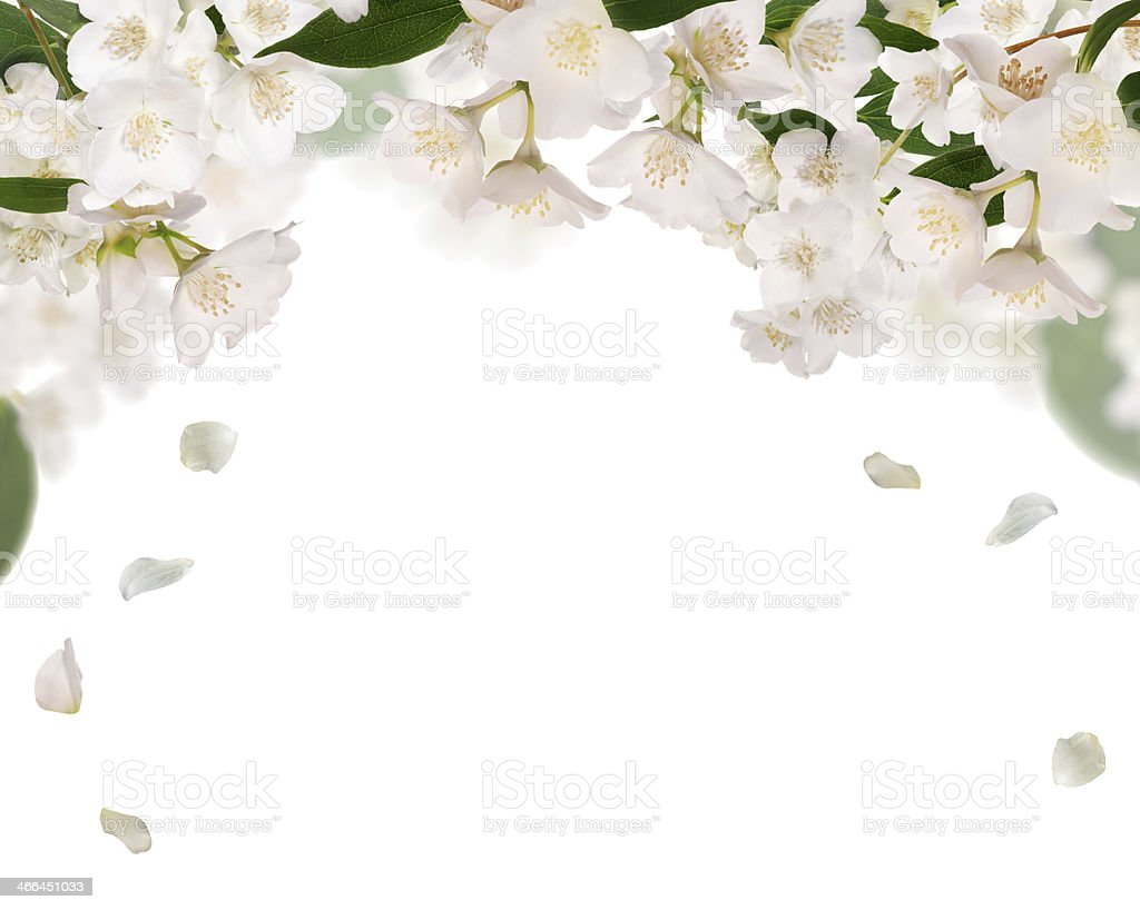 half frame from pure jasmin flowers isolated on white stock photo