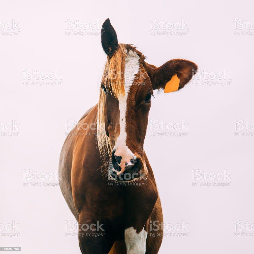 Half horse, half cow stock photo