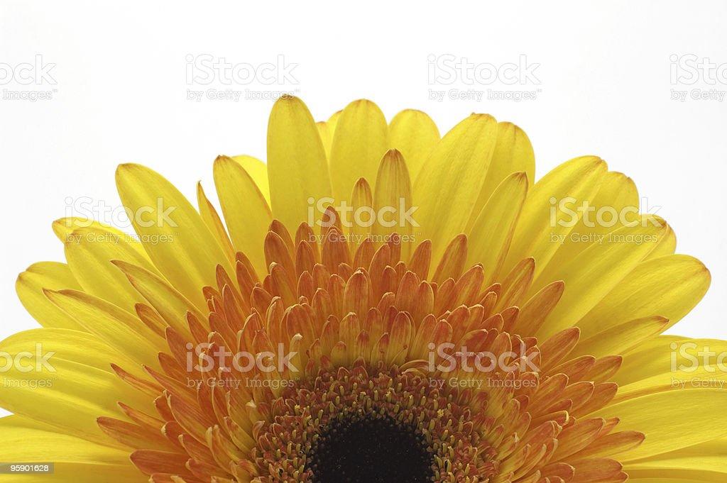 half of yellow daisy royalty-free stock photo
