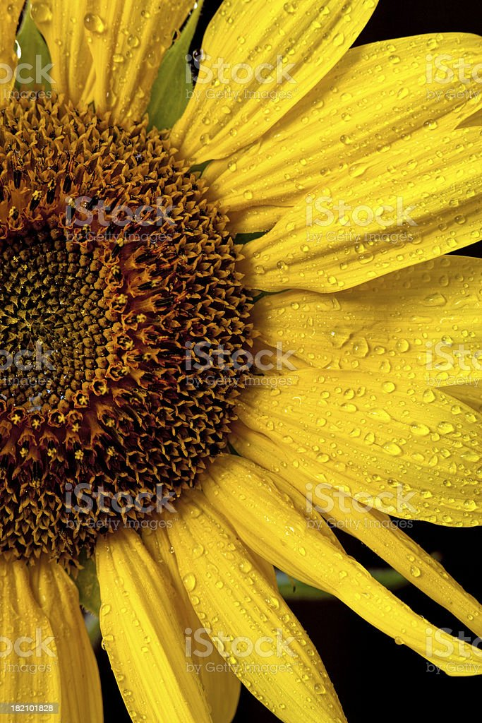 Half shot of sunflower. stock photo