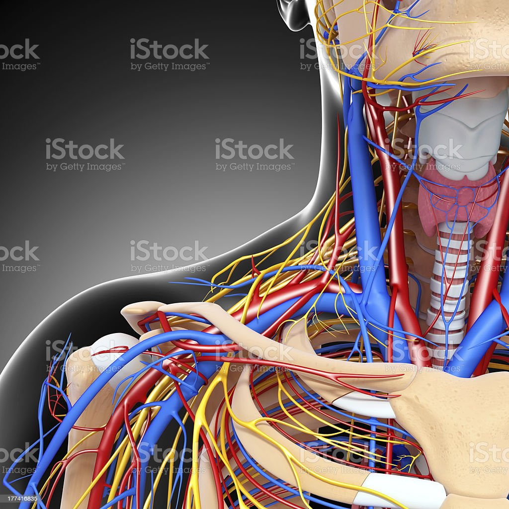 half view of circulatory system with head,eyes,throat stock photo