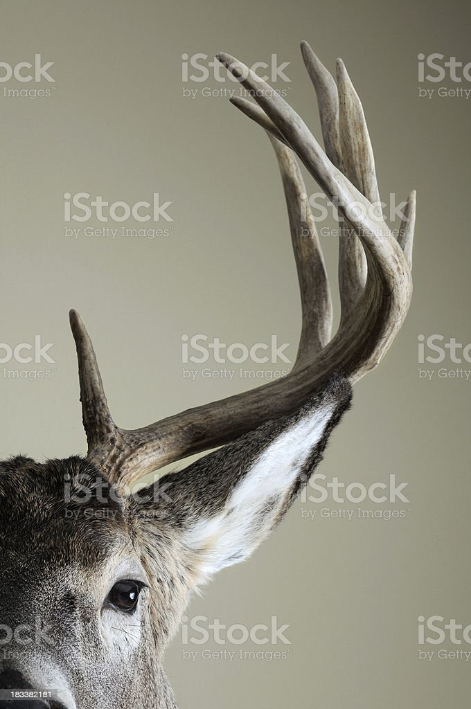 Half Whitetail deer head stock photo