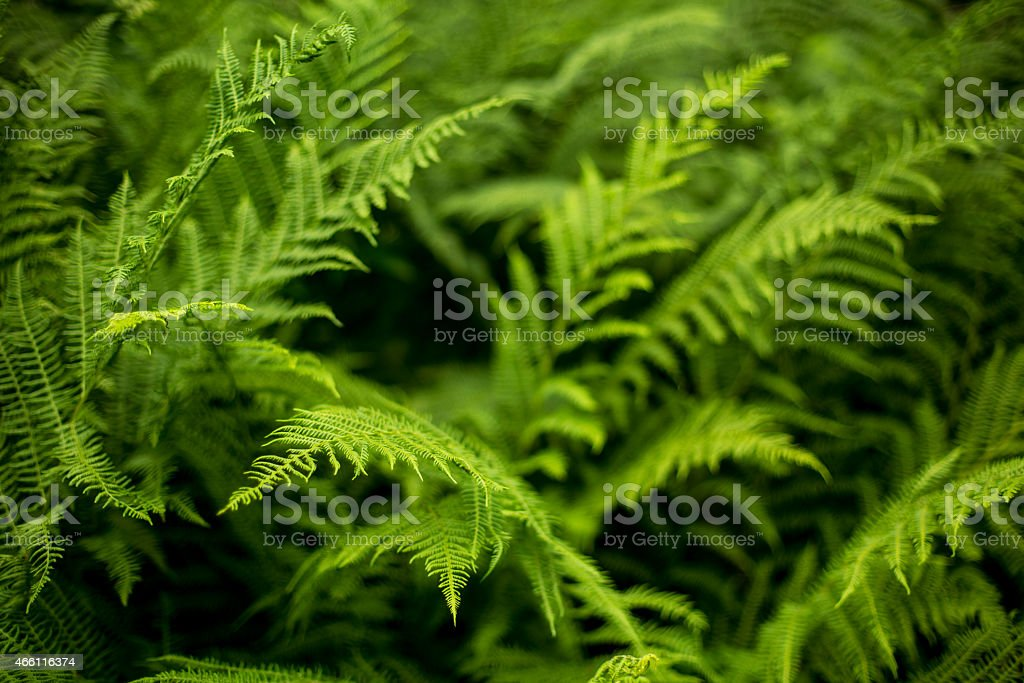 Half-blurred picture of green fern foliage stock photo