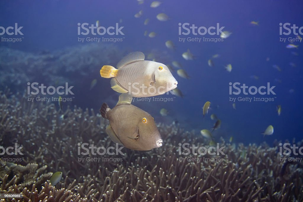 Half-moon Triggerfishes royalty-free stock photo