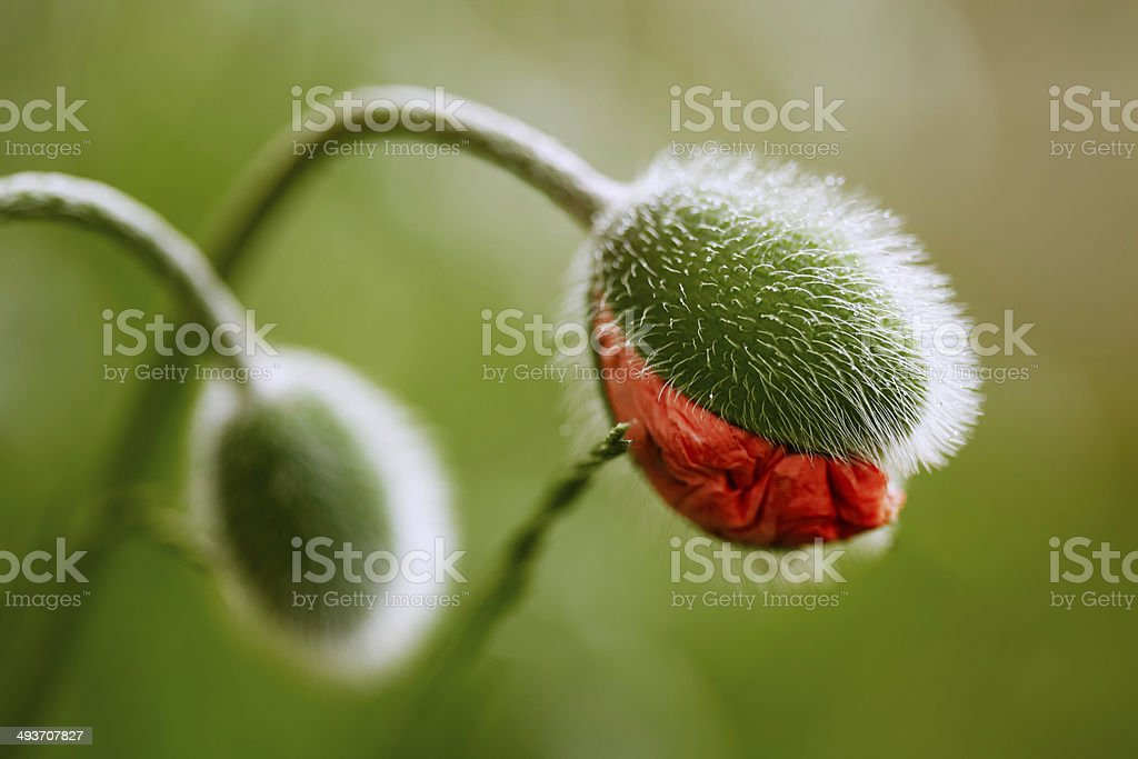 Half-opened poppy flower bud stock photo