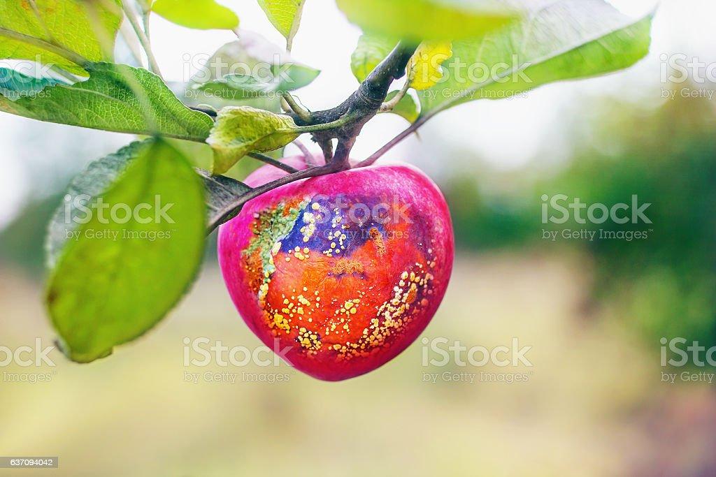 Half-rotten red apple stock photo