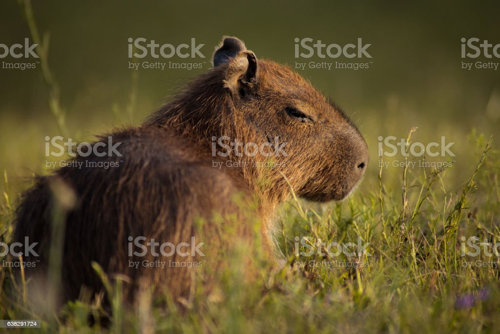 half-sleeping capybara stock photo