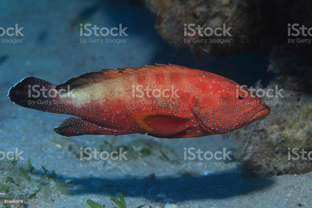 Halfspotted grouper fish stock photo