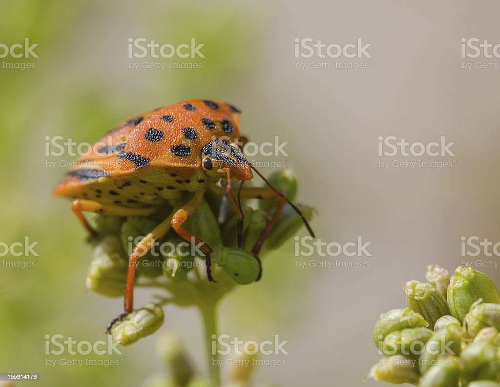 Half-spotted stink bug on a plant (Graphosoma semipunctatum) royalty-free stock photo