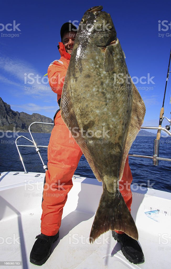 Halibut action  - Large one with 128 lbs stock photo