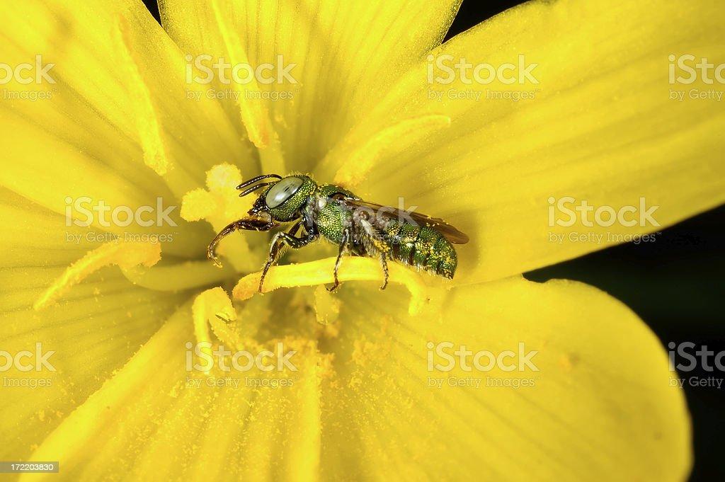 Halictid Bee royalty-free stock photo
