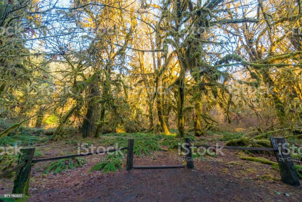 Hall of Mosses Trail is the most beautiful in Hoh Rain Forest. The Olympic Peninsula is home for gorgeous rain forests. stock photo