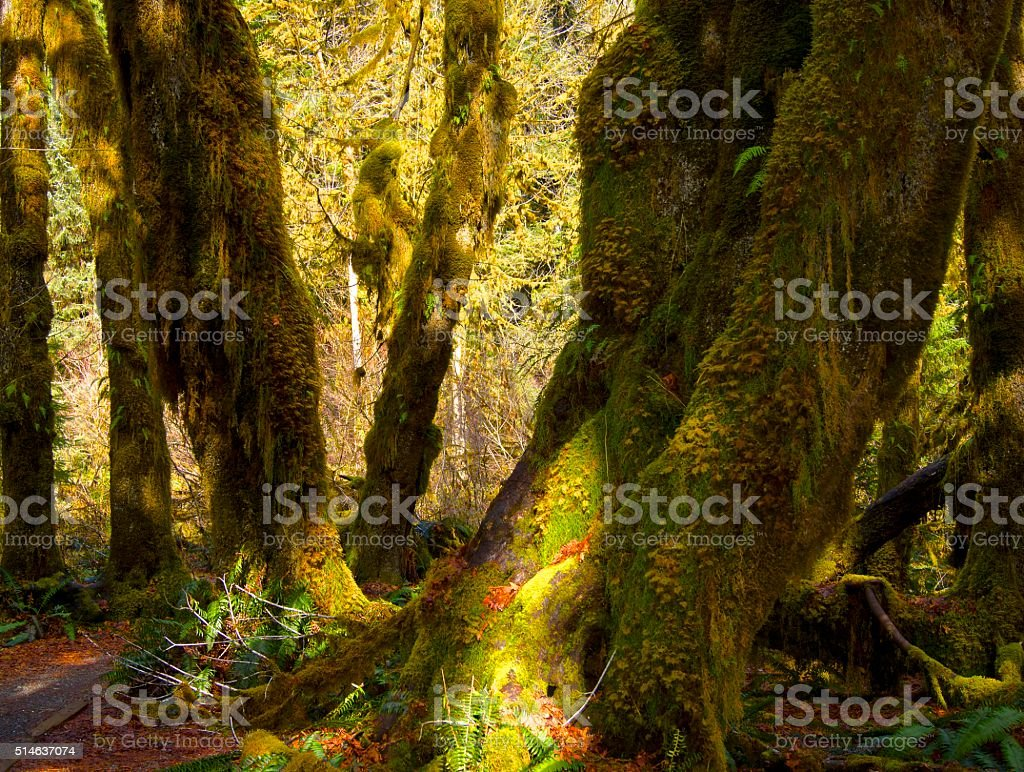 Hall Of Mosses Trail stock photo