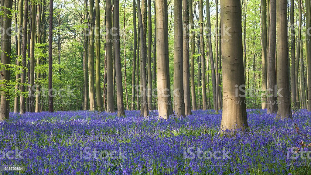 Hallerbos in Spring stock photo