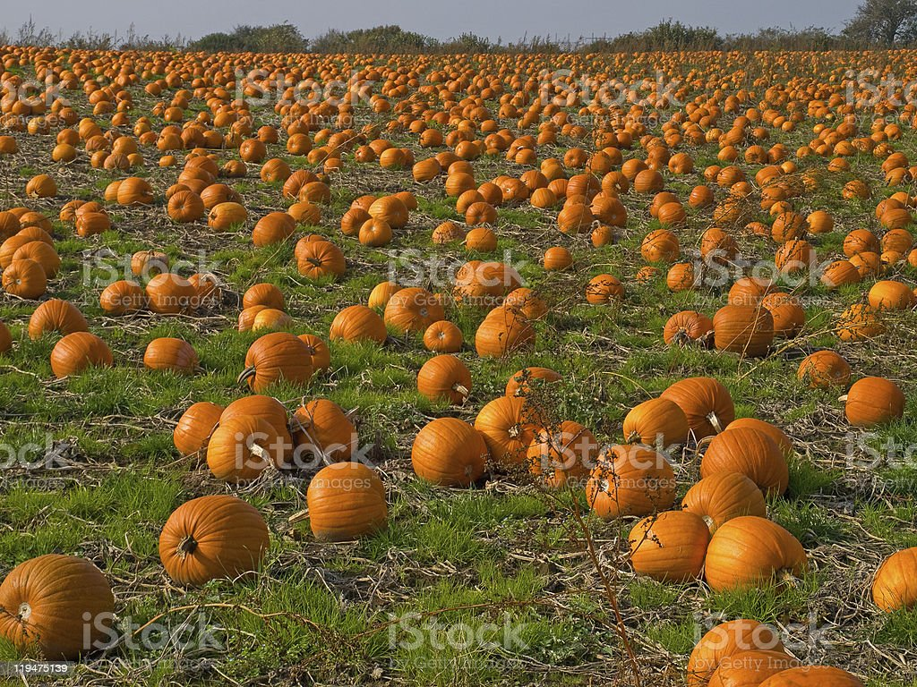 Halloween Pumpkin field background image royalty-free stock photo