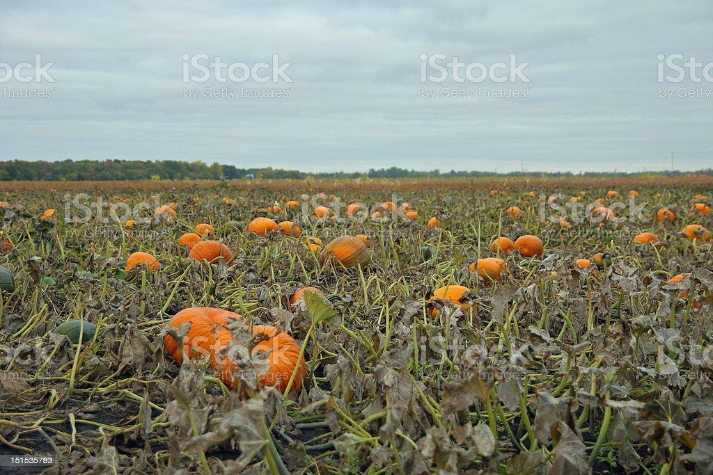 Halloween Pumpkin Patch stock photo