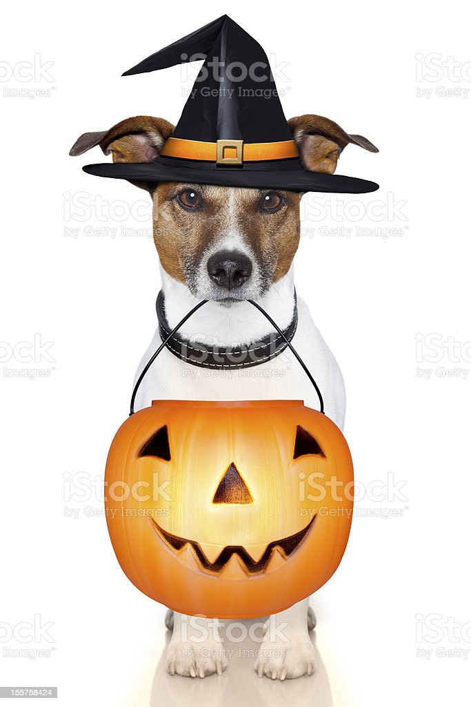 halloween pumpkin witch dog royalty-free stock photo