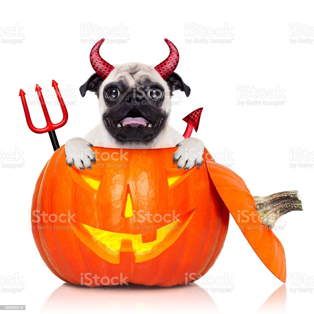 halloween pumpkin witch dog stock photo