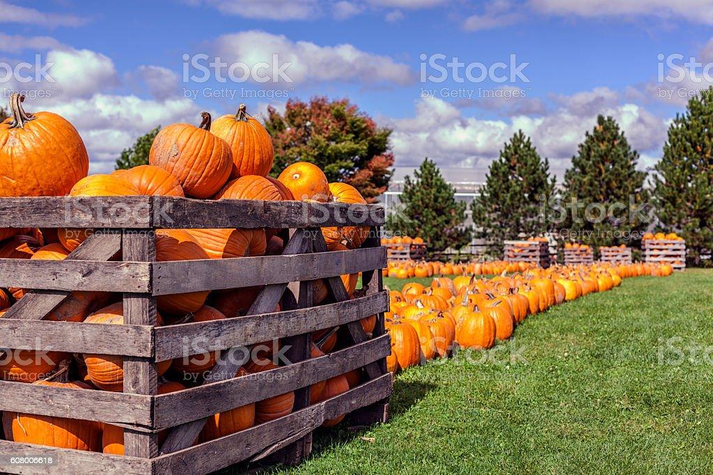 Halloween Pumpkins For Sale at Rural Autumn Farm Market stock photo