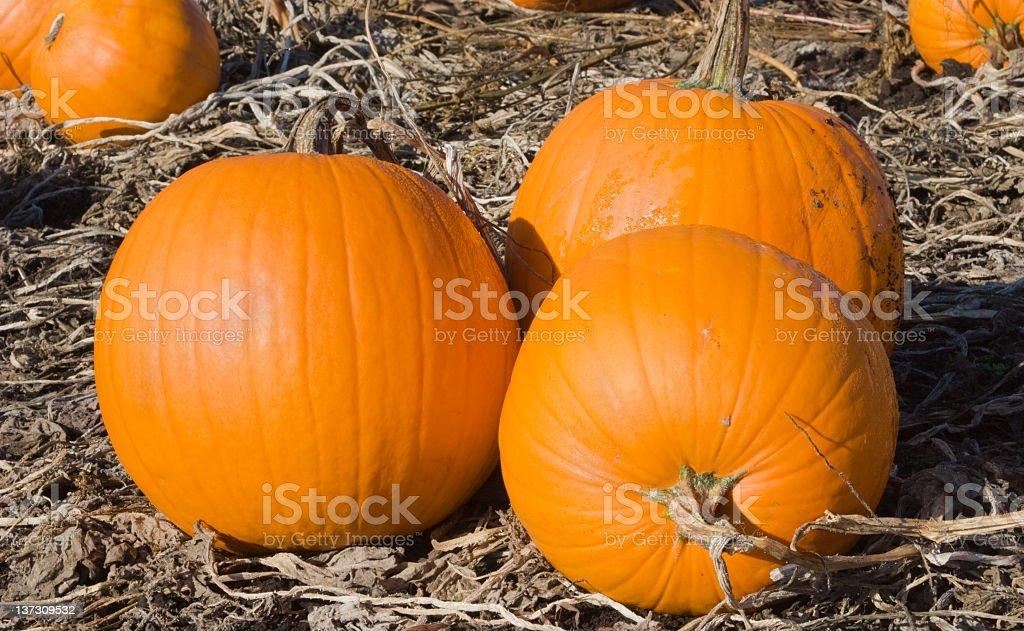 Halloween Pumpkins in a Farm Field stock photo