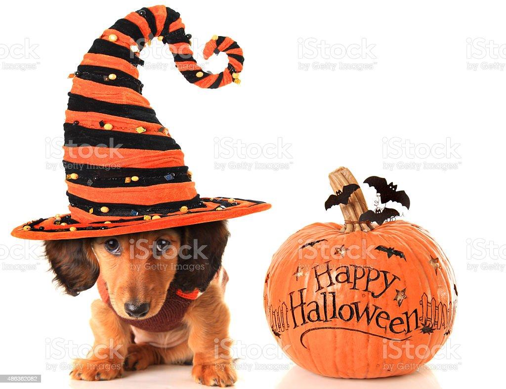 Halloween puppy and pumpkin stock photo
