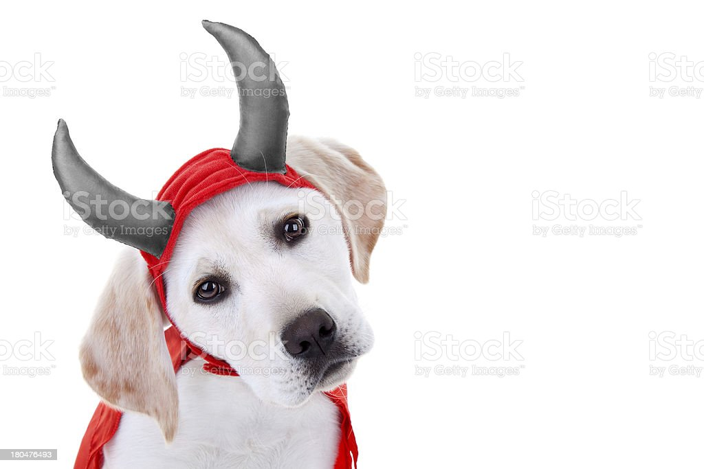 Halloween Puppy royalty-free stock photo