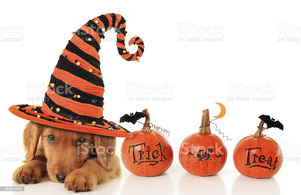 Halloween puppy royalty-free stock photo