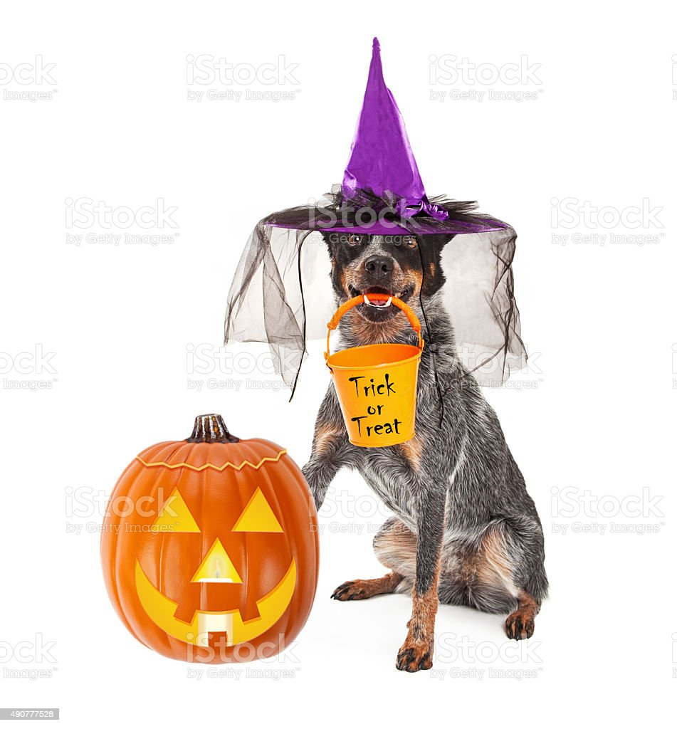 Halloween Witch Dog With Pumpkin stock photo