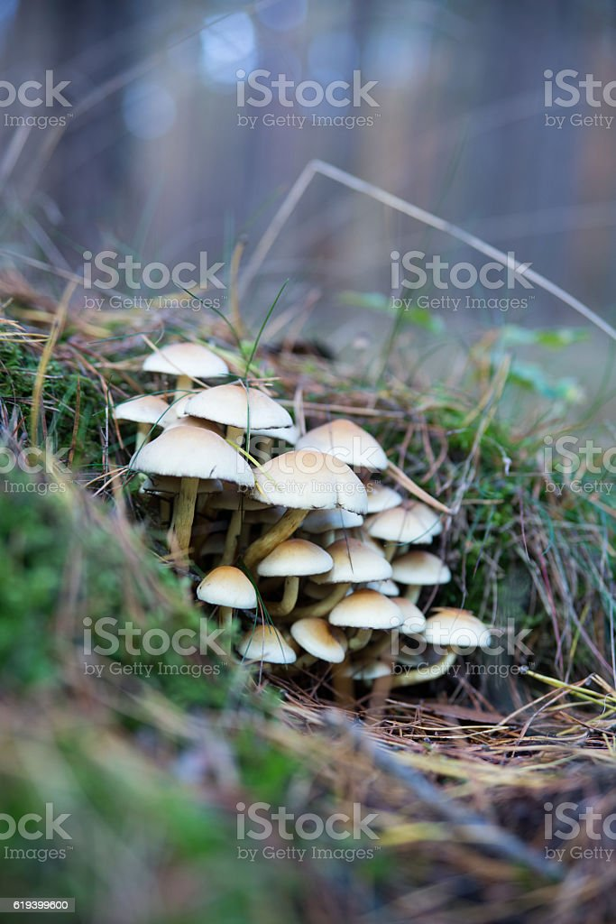 Hallucinogenic mushrooms growing in the meadow. stock photo