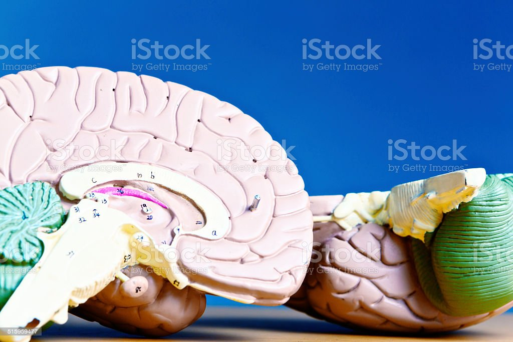 Halved model brain showing anatomical details stock photo