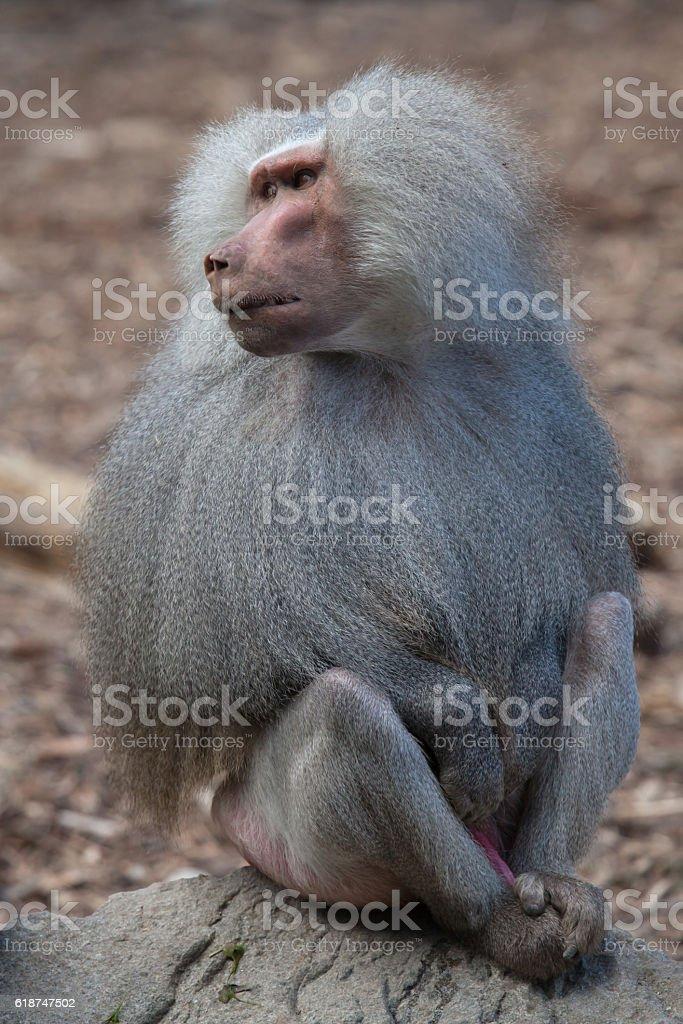 Hamadryas baboon (Papio hamadryas). stock photo