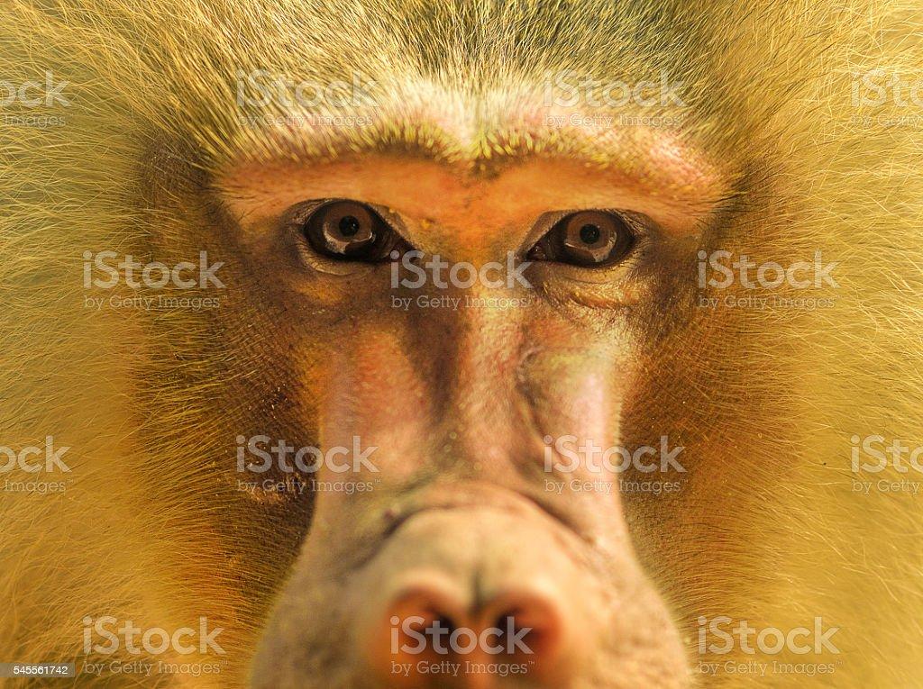 Hamadryas baboons portrait stock photo