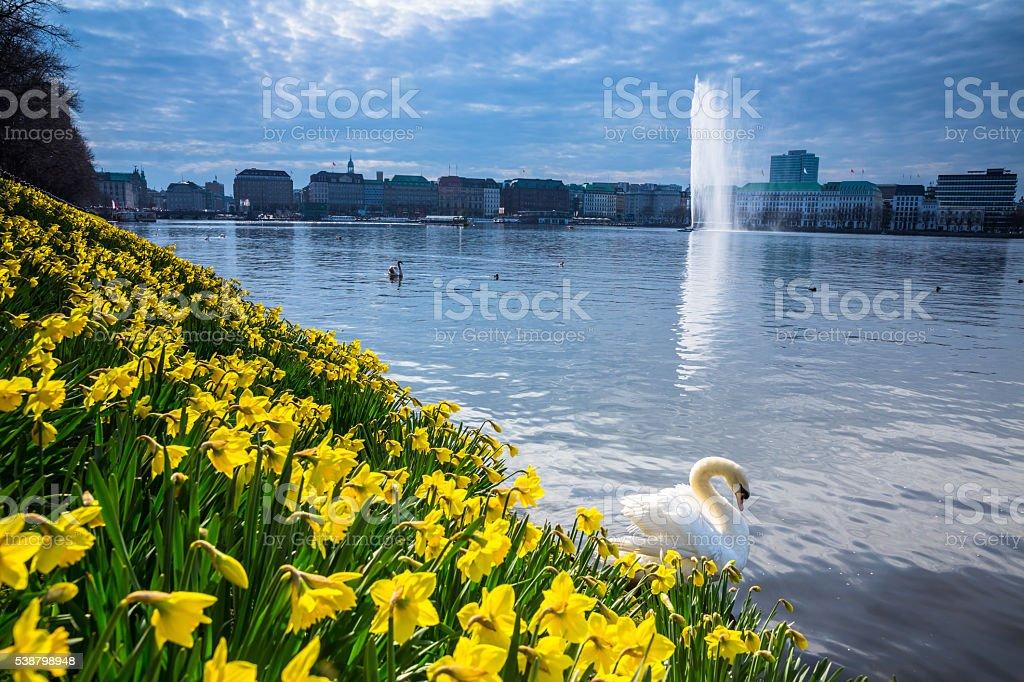 Hamburg Alster Swan at springtime stock photo