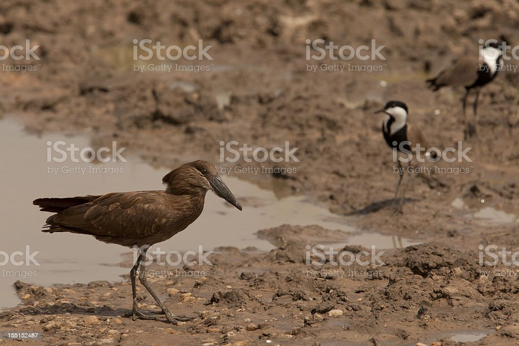 Hamerkop at Uganda with two Spur-winged Plowers (masked lapwing) stock photo