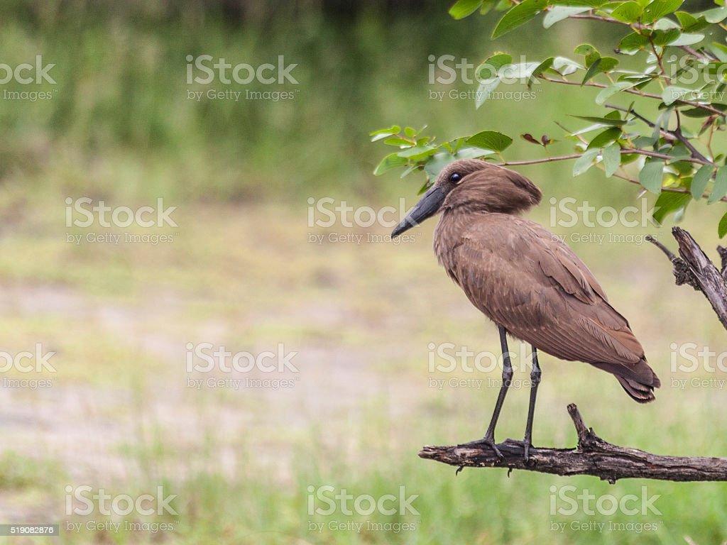 Hamerkop, Scopus umbretta, standing on branch, Zambia stock photo