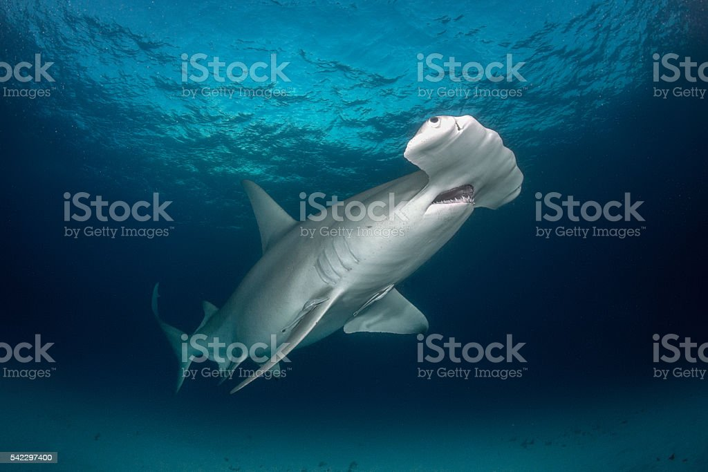 Hammerhead shark in the sea stock photo