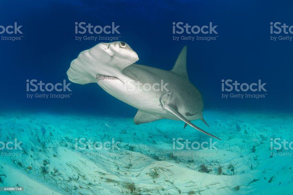 Close up shot of hammerhead shark swimming on the ocean floor.