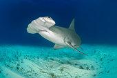Hammerhead shark on the ocean floor