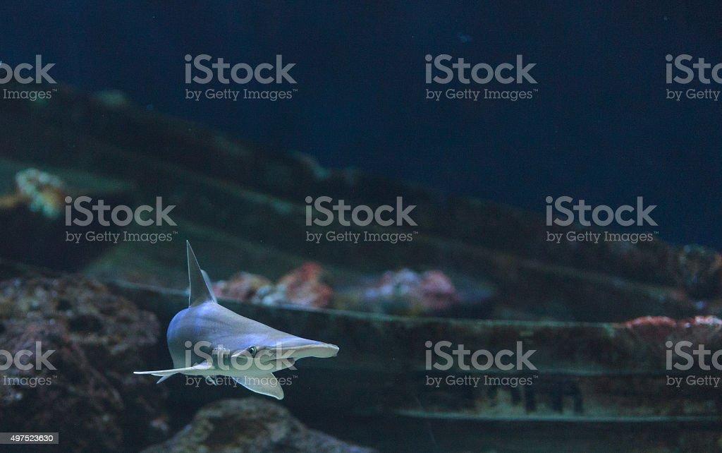 Hammerhead shark, Sphyrna lewini stock photo