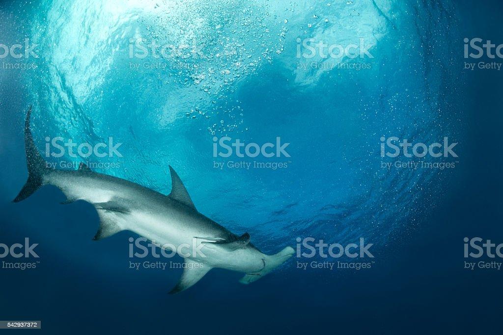 Hammerhead shark under the surface stock photo