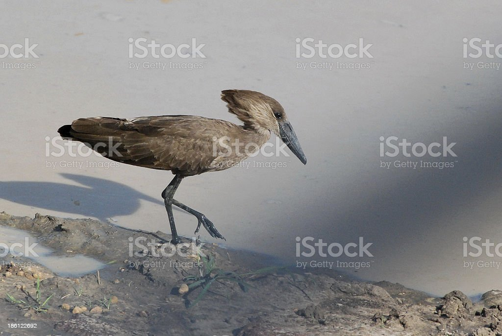A Hammerkop or Scopus umbretta bird walking by a puddle in Murchison...