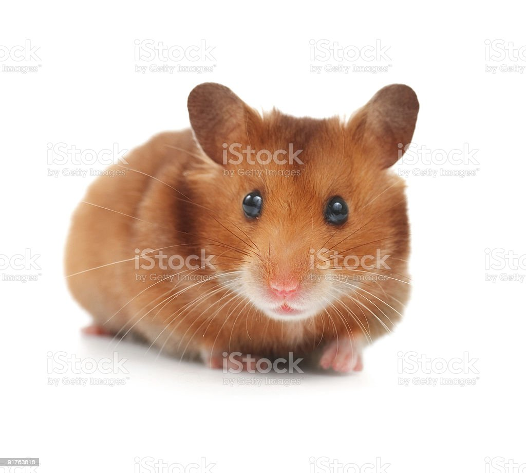 Hamster Close-up stock photo