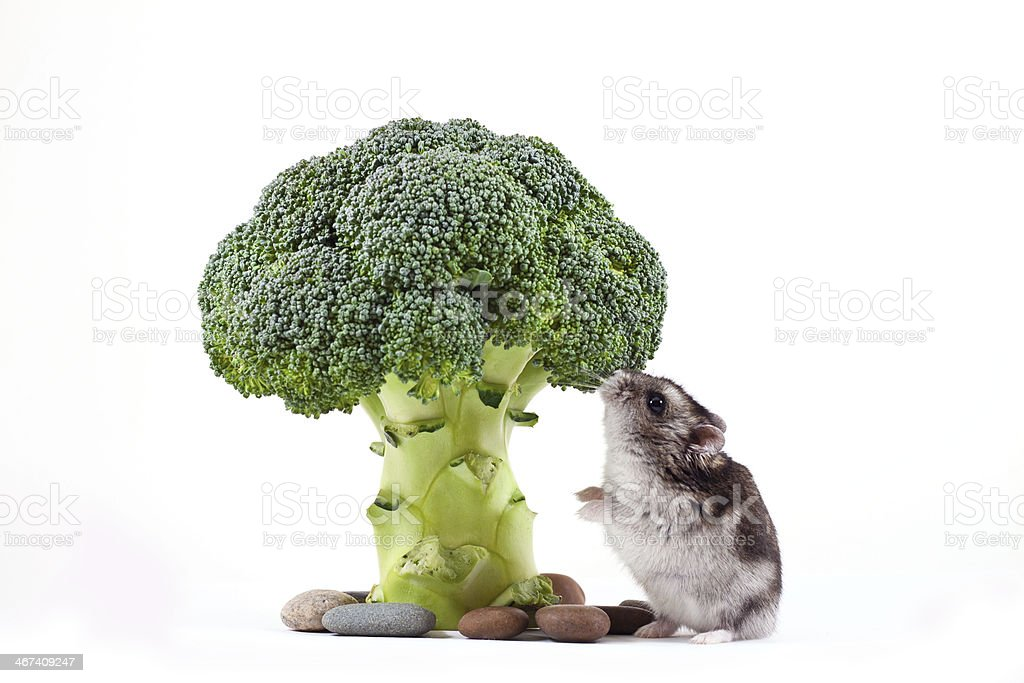 hamster eating cauliflower stock photo