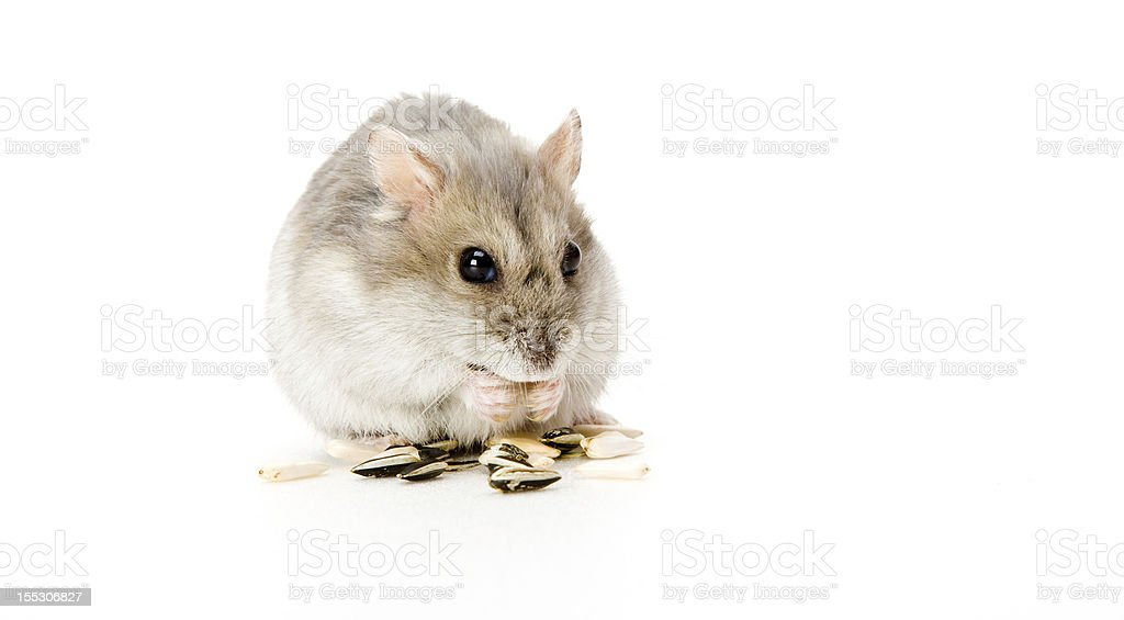 hamster eating royalty-free stock photo